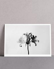 Botanicals, Lilies